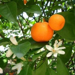 petit grain mandarine bio