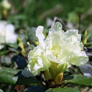 rhododendron bio
