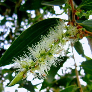 arbre à thé bio