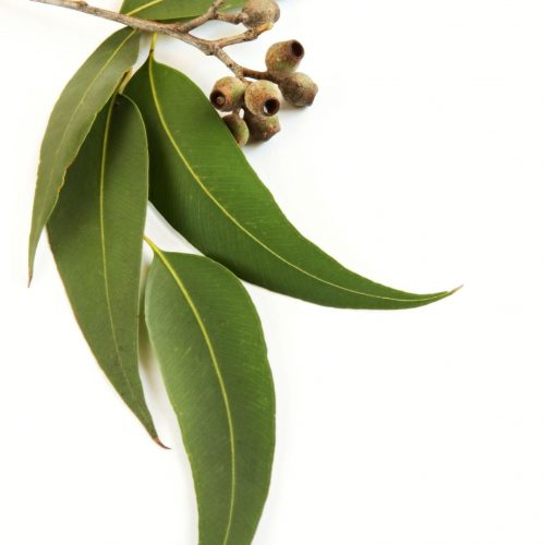 eucalyptus à fleurs multiple à cinéole