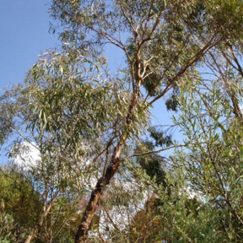 eucalyptus à fleurs multiple à cryptone