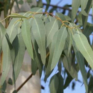 eucalyptus mentholé à piperitone