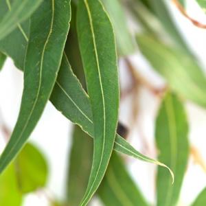 eucalyptus staigeriana bio