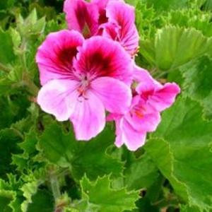 géranium rosat var bourbon bio